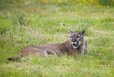 Photograph - Cougar by Chris Dutton