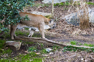 Photograph - Cougar Comes Out Of Trees by Chris Flees