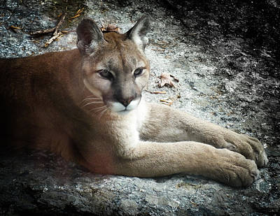 Cougar Country Art Print by Karen Wiles