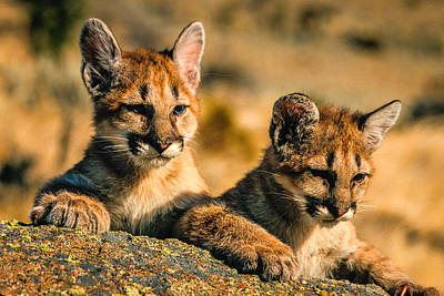 Photograph - Cougar Cubs by Randy Green