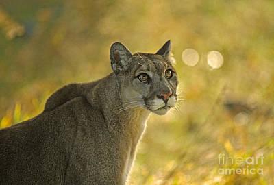 Cougar Felis Concolor Art Print