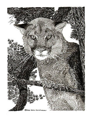 Cougar From Colorado Art Print by Jack Pumphrey