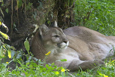 Cougar Art Print by Jim Walker