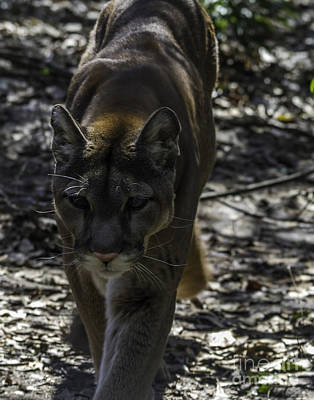 Photograph - Cougar by Ken Frischkorn