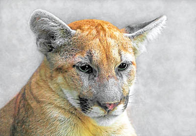 Cougar Art Print by Marion Johnson