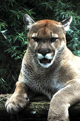 Photograph - Cougar by Mike Martin