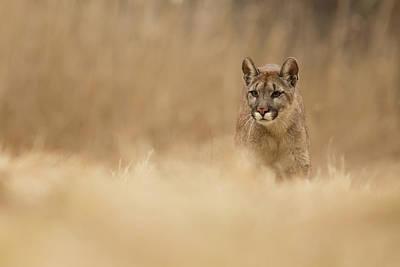 Cougar Wall Art - Photograph - Cougar by Milan Zygmunt
