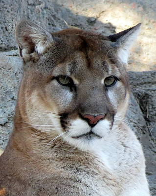Cougar Art Print by Ramona Johnston