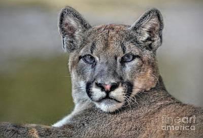 Art Print featuring the photograph Cougar  by Savannah Gibbs