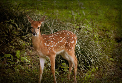 Photograph - Could It Be Bambi by Linda Segerson