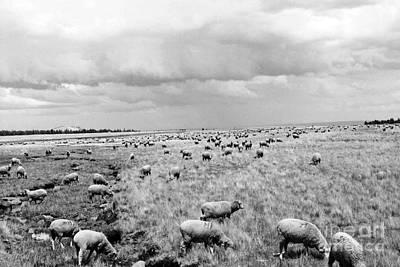 Photograph - Counting Sheep  by Juls Adams