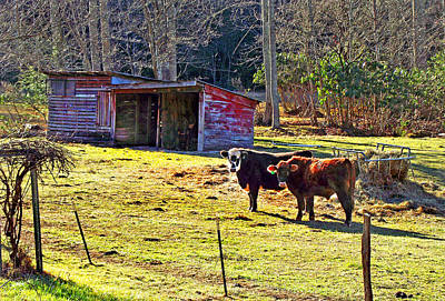 Photograph - Country Cows And Old Shed by Duane McCullough