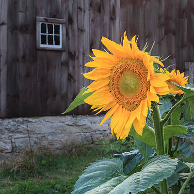 Sunflowers Photograph - Country Flower Square by Bill Wakeley