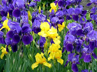 Photograph - Country Road Irises  by Will Borden