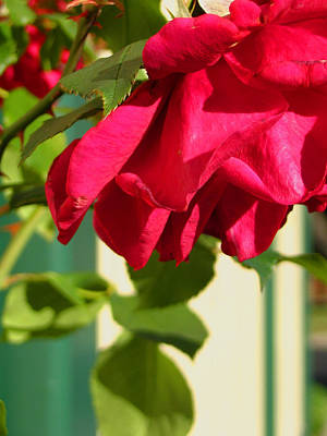 Photograph - Country Rose by Amber Nissen