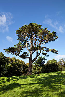 Lebanon Photograph - County Down Ireland Lebanon Cedar by Panoramic Images