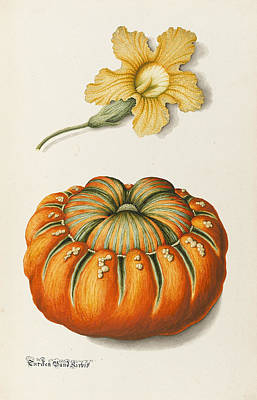 Vegetables Drawing - Courgette And A Pumpkin by Joseph Jacob Plenck