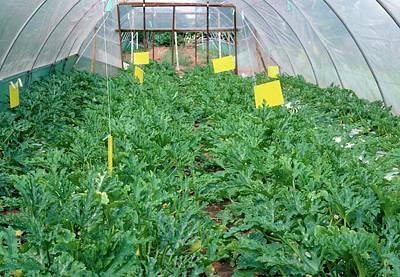 Zucchini Photograph - Courgette Plants Growing In A Polytunnel by A C Seinet/science Photo Library