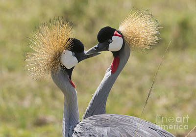 Photograph - Courting Grey-crowned Cranes by Howard Kennedy