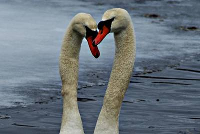Photograph - Courting Swans by Joe Faherty