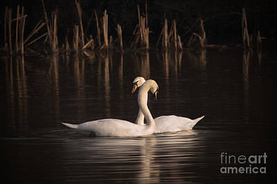 Swans... Painting - Courtship Painting by John Edwards