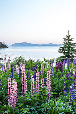 Photograph - Covered With Lupines by Susan Cole Kelly