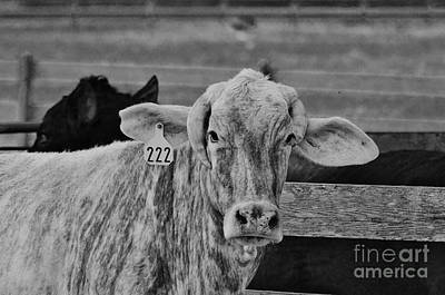 Photograph - Cow 222 by Lynda Dawson-Youngclaus