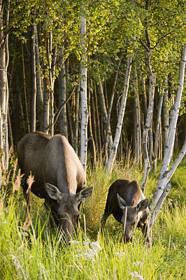 Cow And Calf Moose Feeding Along The Art Print by Kevin Smith