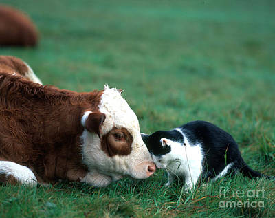 Photograph - Cow And Cat by Hans Reinhard