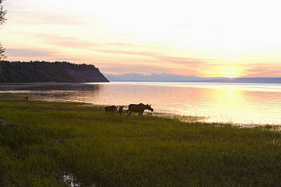 Cow And Two Calf Moose Feeding Along Art Print by Kevin Smith