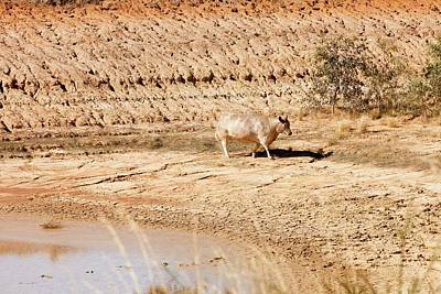 Cow At A Nearly Empty Water Hole Art Print