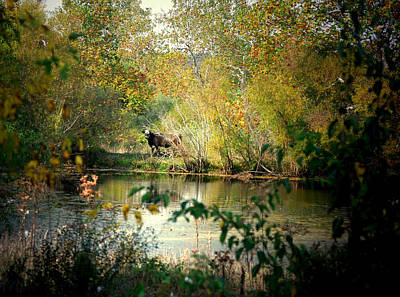 Indiana Trees Photograph - Cow By The Pond by Mark Orr