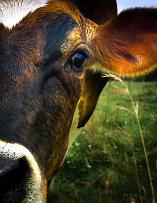 Animals Photos - Cow eating grass by Bob Orsillo
