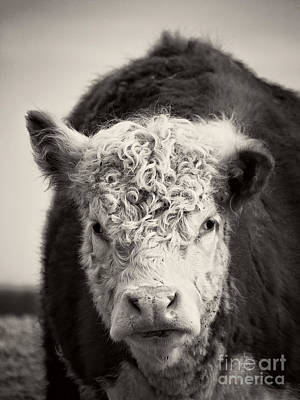 Photograph - Cow by Edward Fielding