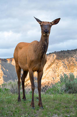 Photograph - Cow Elk by Aaron Spong