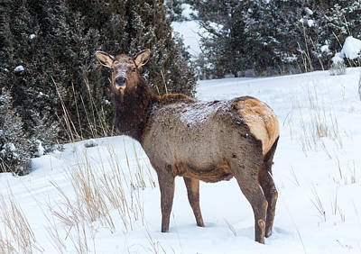 Photograph - Cow Elk by Michael Chatt