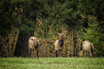 Photograph - Cow Elk Munching - Oregon by Belinda Greb