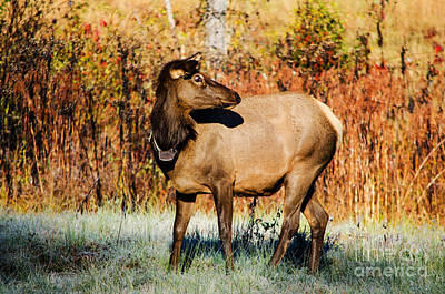 Photograph - Cow Elk by Paul Mashburn