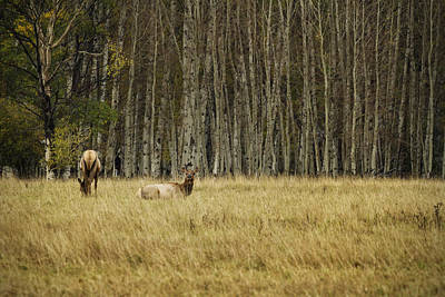 Photograph - Cow Elk Resting - Grand Tetons by Belinda Greb
