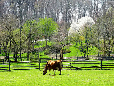Photograph - Cow Grazing In Pasture In Spring by Susan Savad
