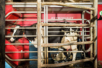 Bos Taurus Photograph - Cow In Milking Machine by Aberration Films Ltd