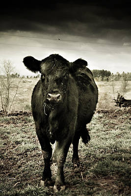 Photograph - Cow In The Winter Pasture  by Gray  Artus