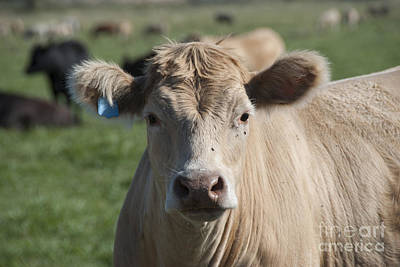 Photograph - Cow by Juli Scalzi