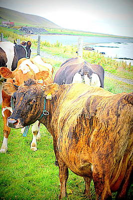 Belong Dead Photograph - Cows Are Also Having Their Meetings  by Hilde Widerberg