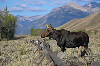 Photograph - Cow Moose In Grand Tetons National Park by Jean Clark