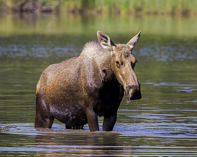 Photograph - Cow Moose In Lake by Jack Bell