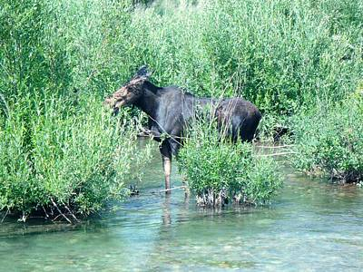 Photograph - Cow Moose by Jeffrey Randolph
