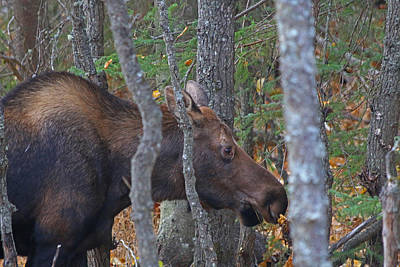 Photograph - Cow Moose by Jon Emery