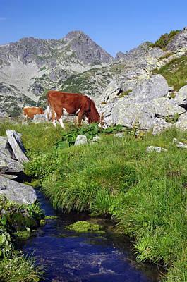 Cow On Alpine Pasture  Art Print by Ioan Panaite