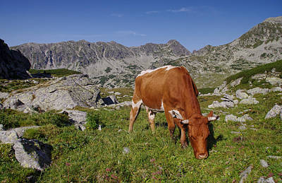 Cow On Mountain Pasture Original by Ioan Panaite